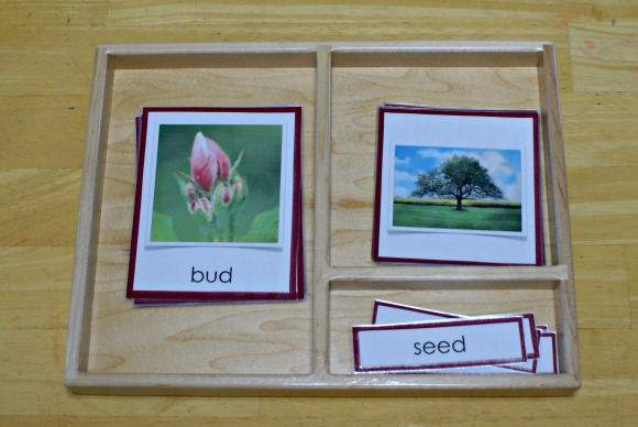 Montessori Apple Themed Activities - Life Cycle of an Apple Three-Part Cards